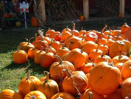 Nothing says it's Fall like going to a Pumpkin Patch. Whether you simply w
